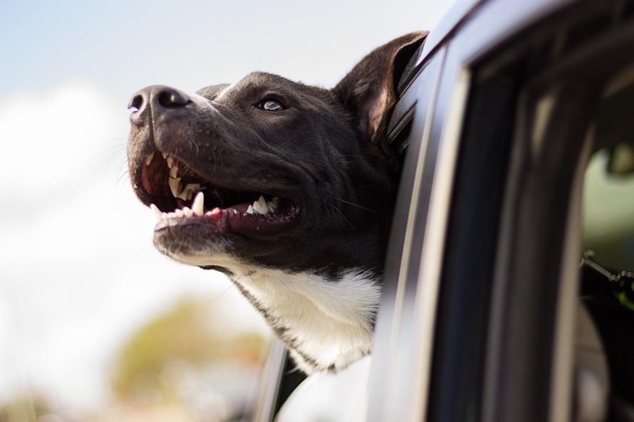 dogs head outside car window
