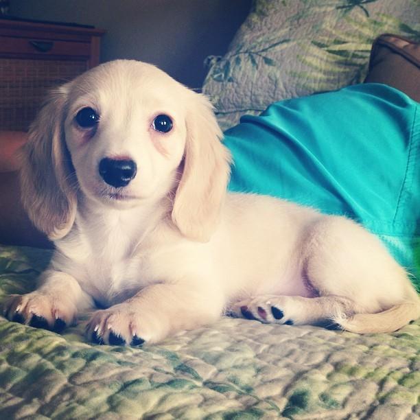 Cute Dachshund Puppy Tan