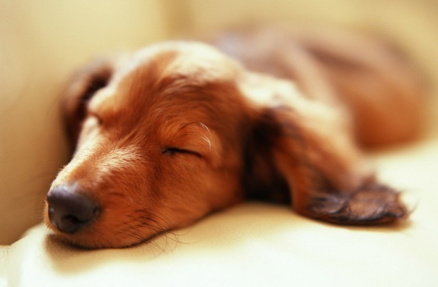 Sleeping Dachshund Puppy