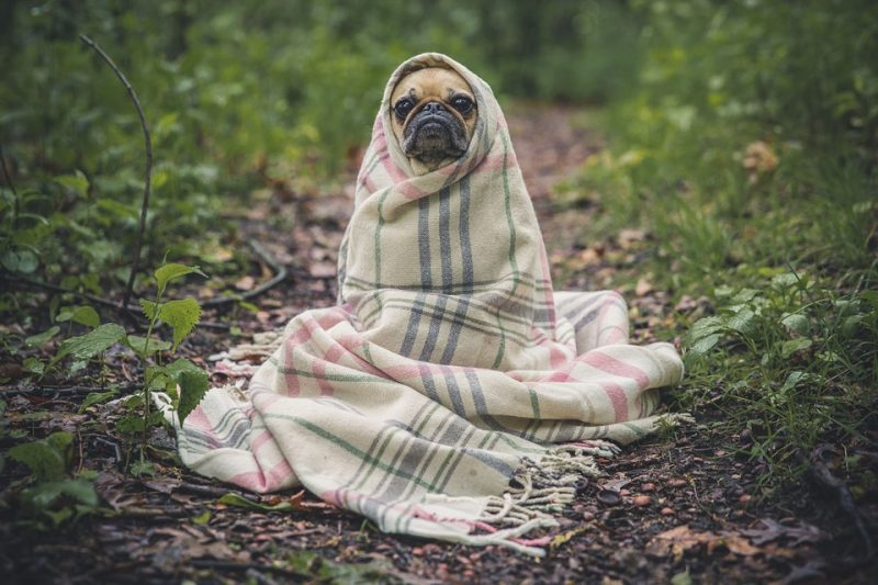 dog wrapped in blanket for dog safety during dog neutering