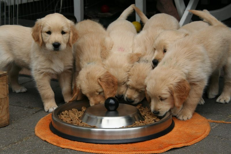 golden retriever puppies eating dog food